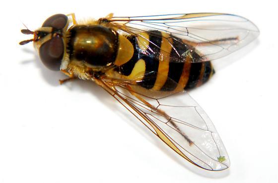 Memphis Bioblitz 2016 Syrphidae - Syrphus