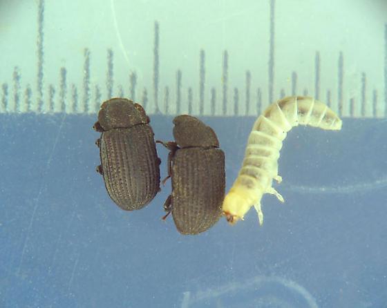 Found: undescribed larva! - Eleates depressus