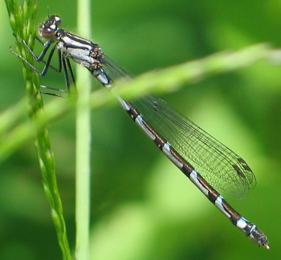 bluet female - Enallagma - female