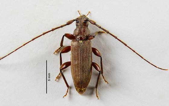Cerambycid? - Opsimus quadrilineatus