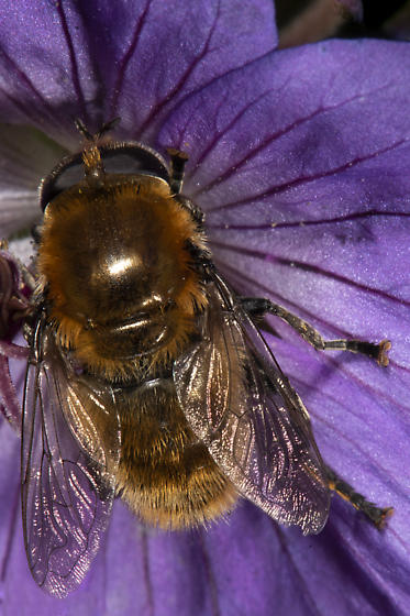 Narcissus Bulb Fly (Merodon equestris)? - Merodon equestris
