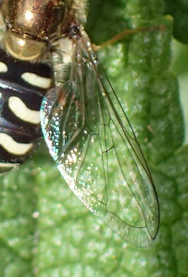 Eupeodes volucris female? - Eupeodes volucris