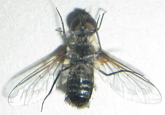 Small Bee Fly - Villa