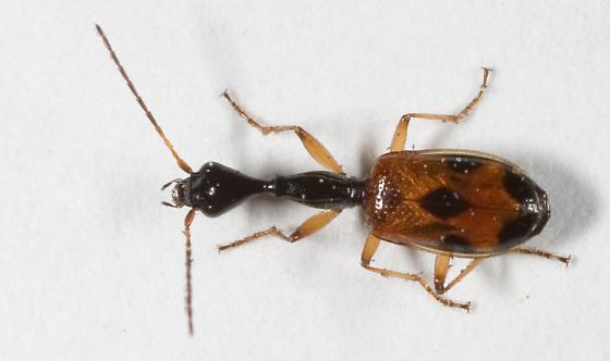 Long-necked Ground Beetle - Colliuris pensylvanica