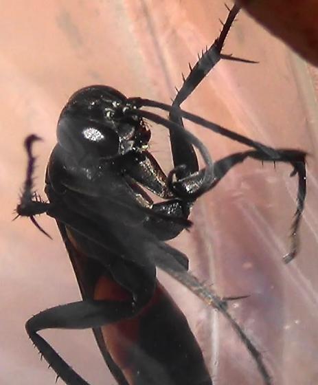 The Six Wasp Special - #5 of 6 - Anoplius americanus - female