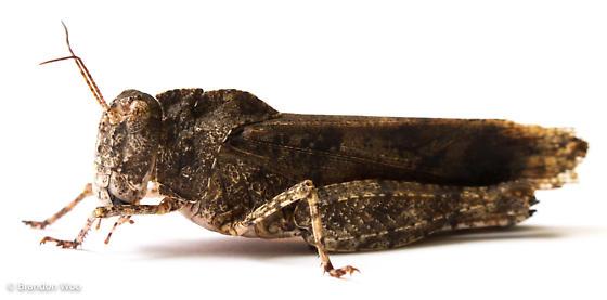 Spharagemon cristatum - female