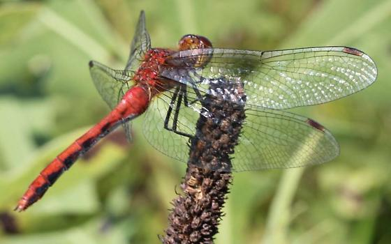 White-Faced Meadowhawk? - Sympetrum
