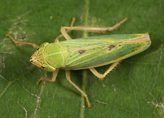 Draeculacephala? - Draeculacephala noveboracensis