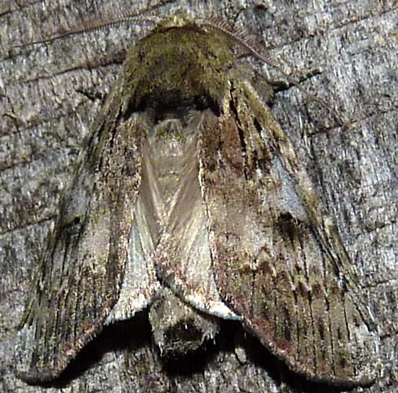5/29/19 moth 2 - Schizura - male