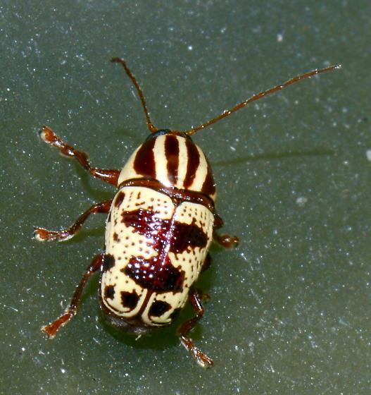 Please help us to identify this guy. - Cryptocephalus leucomelas