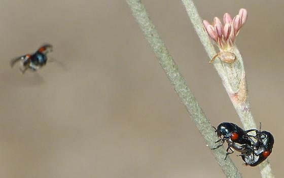 More Leaf Beetle Sex - Saxinis - male - female