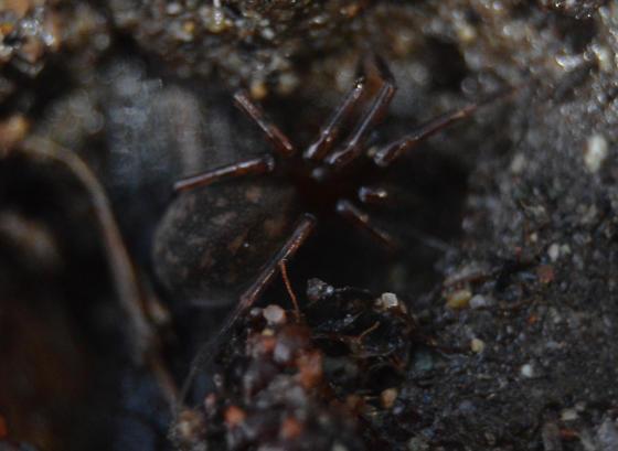 small spider - Cybaeus