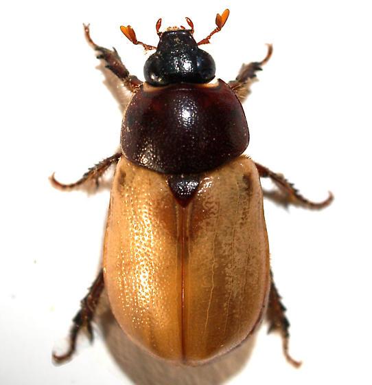 Cyclocephala melanocephala? - Cyclocephala melanocephala