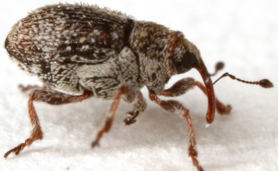Minute Seed Weevil? - Ceutorhynchus pusillus