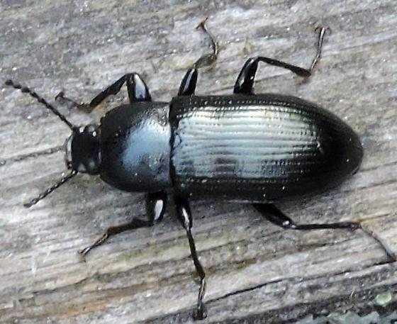 Ground Beetle (Carabidae) - Centronopus calcaratus