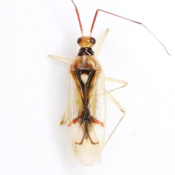 Hyaliodes harti Knight - Hyaliodes harti