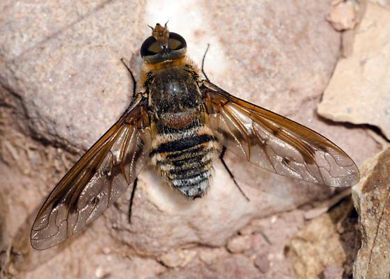 Exoprosopa pueblensis? - Exoprosopa pueblensis