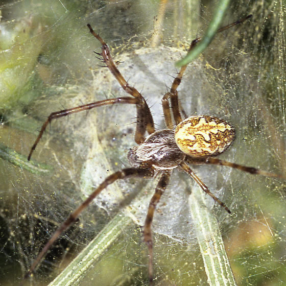 Orb spider, possibly Aculepeira? - Aculepeira packardi