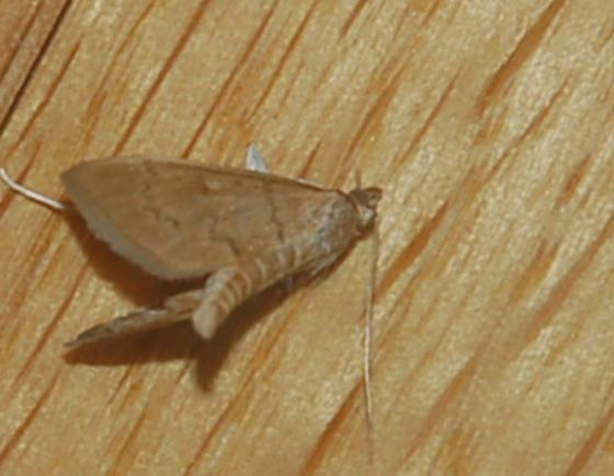 St. Andrews leaf folder on Alnus serrulata SA1398 2018 1 - Anania extricalis