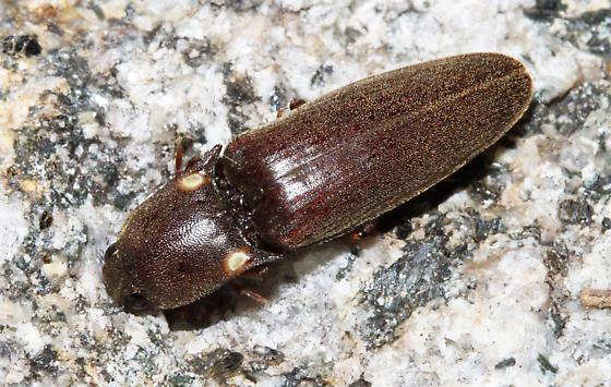Bioluminescent Click Beetle - Vesperelater arizonicus - male