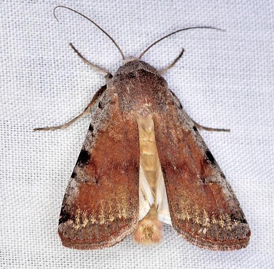 Moth, dorsal - Anicla beata - male