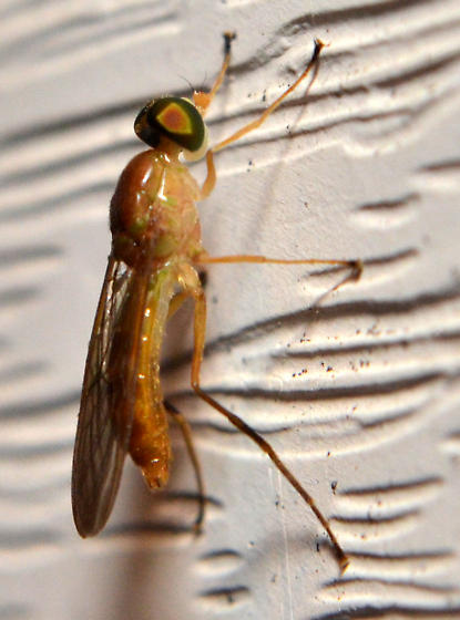 Fly at porch light - Ptecticus trivittatus
