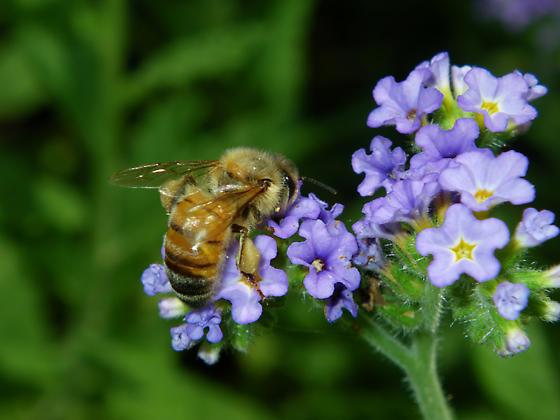 Apis mellifera (Honey Bee) ? - Apis mellifera