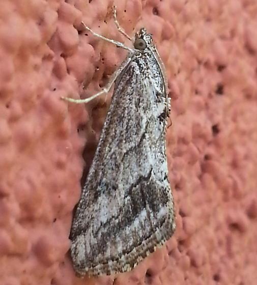 Unknown Moth - Evergestis simulatilis