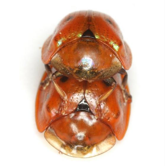 Jonthonota nigripes (Olivier) - Jonthonota nigripes - male - female