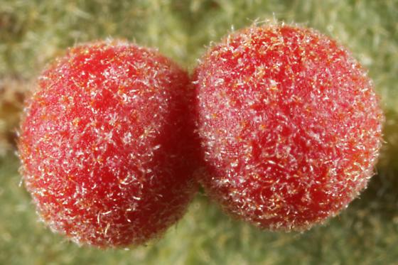 Oak Gall - Andricus brunneus