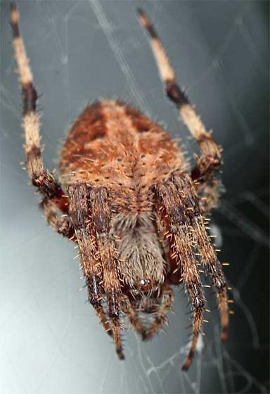 Orb Weaver. Species? - Neoscona crucifera - female