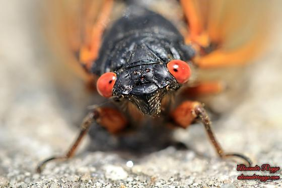 Periodical Cicada - Brood X - Magicicada - Magicicada septendecim