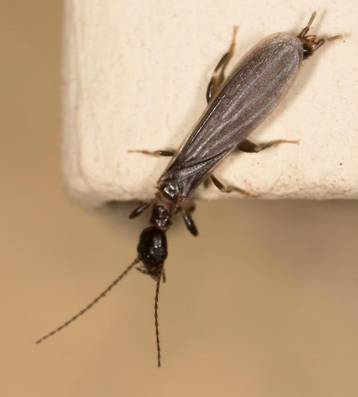 Webspinner in La Habra CA - Oligotoma nigra