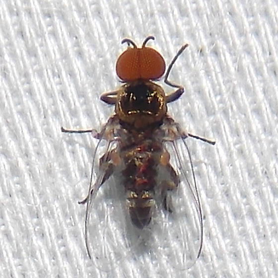 fly - Simulium - male