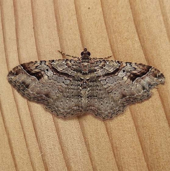 Geometridae: Costaconvexa centrostrigaria - Costaconvexa centrostrigaria