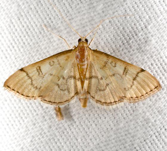 Blepharomastix - Blepharomastix ranalis