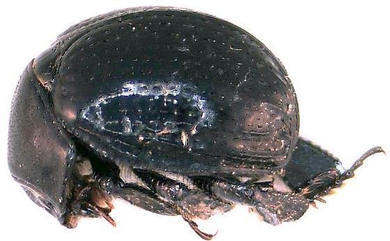 Germarostes aphodioides