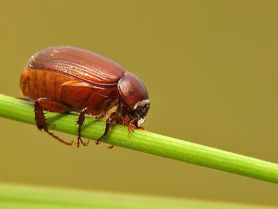 Dung beetle? - Serica