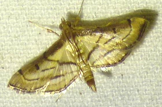 Cnaphalocrocis trapezalis - Trapeze Moth - Cnaphalocrocis trapezalis