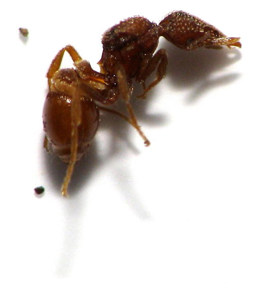 Trap Jaw Ant Queen Queen Long Jawed Mini Trap-jaw