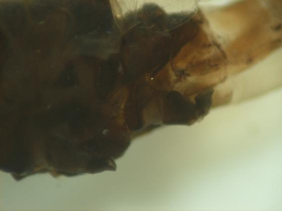 Homoeoneuria ammophila? - Paraleptophlebia - male