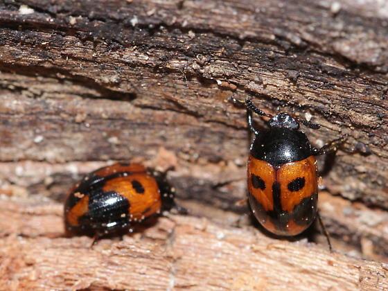 Leaf beetle - Diaperis maculata