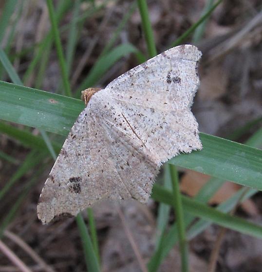 unkn moth - Macaria aemulataria