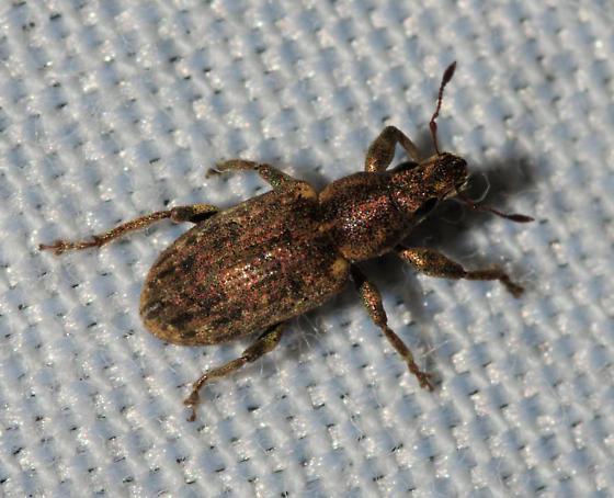 Broad-nosed Weevil - Sitona lepidus