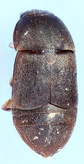 Colopterus - Colopterus unicolor