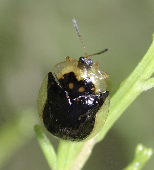 Also nearby were some beetles - Deloyala lecontii