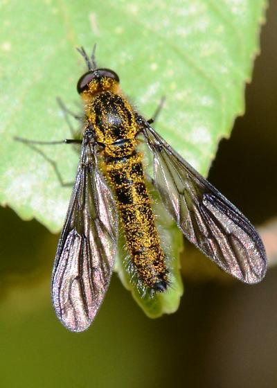 Gold Flake Bee Fly - Thevenetimyia