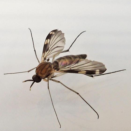 predatory fungus gnat - Heteropterna cressoni
