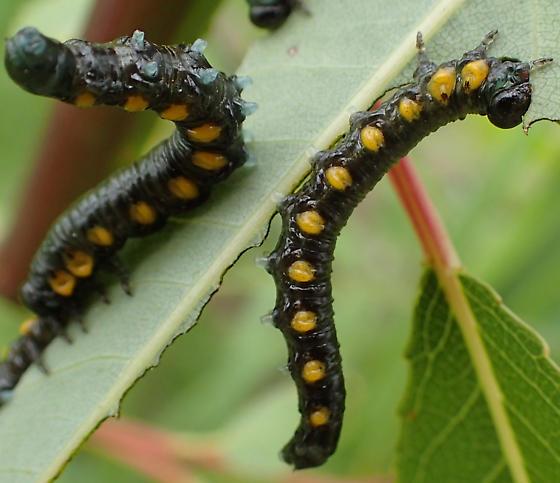 salix cat - Nematus ventralis