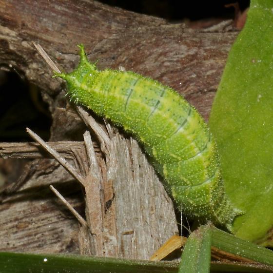 Green caterpillar barbs on head - Asterocampa